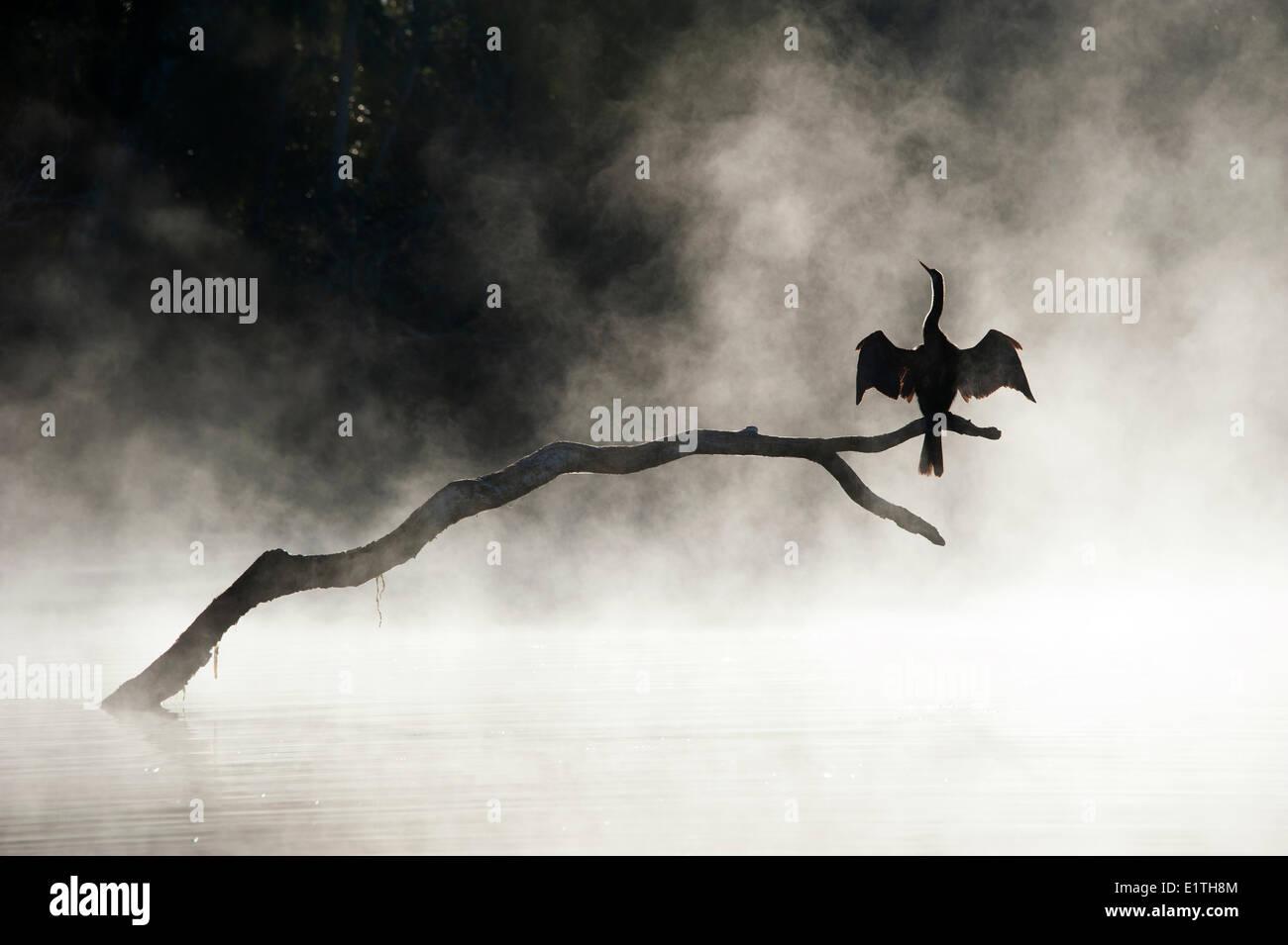 Adult anhinga (anhinga anhinga) drying its wings in the mist an winter morning Chassahowitzka National Wildlife Refuge - Stock Image