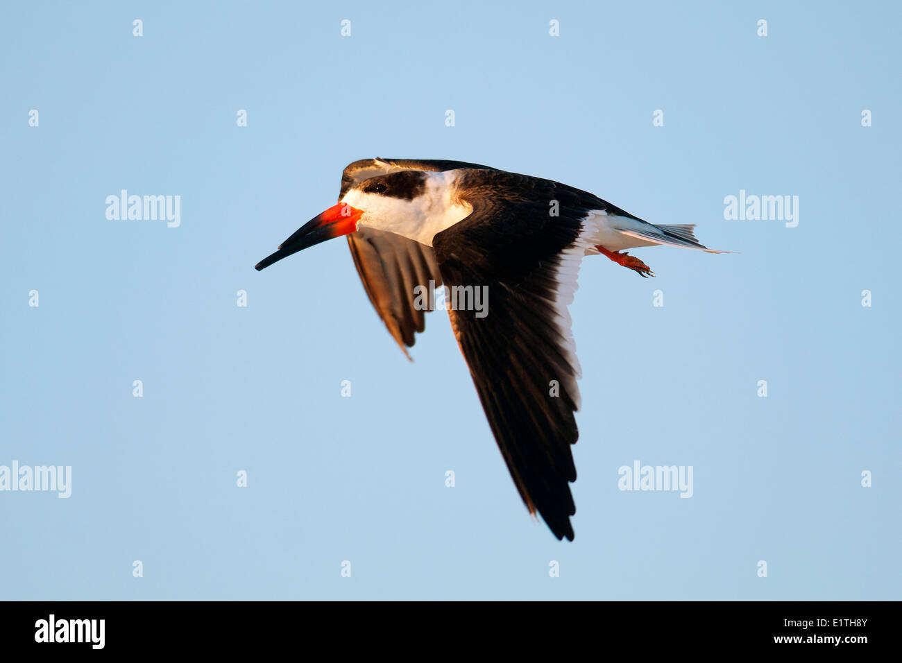 Black skimmer (Rynchops niger) flying to its nocturnal roost, coastal Florida - Stock Image