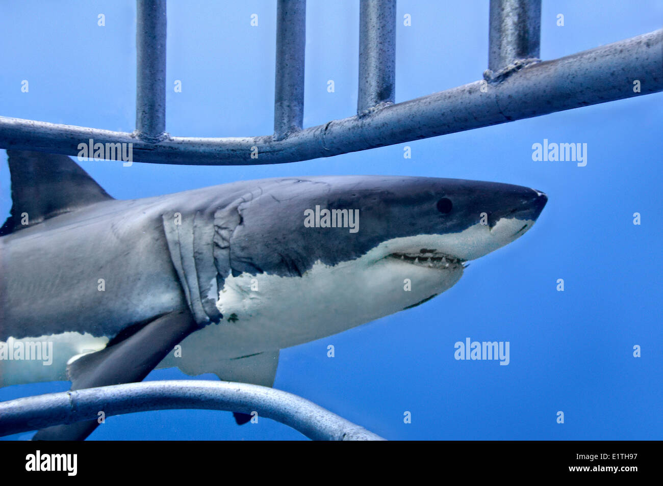 Cage-diving for great white sharks (Carcharodon carcharias), Isla Guadalupe, Baja, Mexico - Stock Image