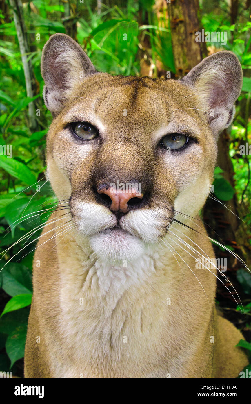 Central American Puma (Felis concolor), tropical rain forests, Belize, Central America - Stock Image
