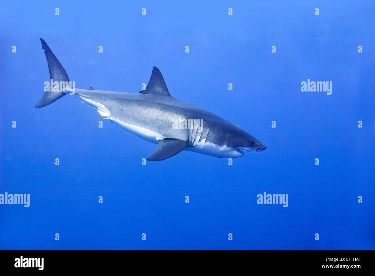 Great white shark (Carcharodon carcharias), Isla Guadalupe, Baja, Mexico Stock Photo
