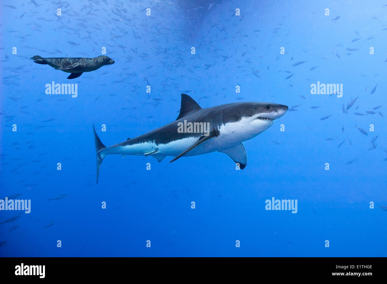 Great white shark (Carcharodon carcharias) being harassed by a juvenile California sea lion (Zalophus californianus) Stock Photo