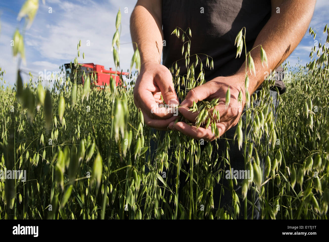 Farmer's hands inspecting oat crops with red combine in background. - Stock Image