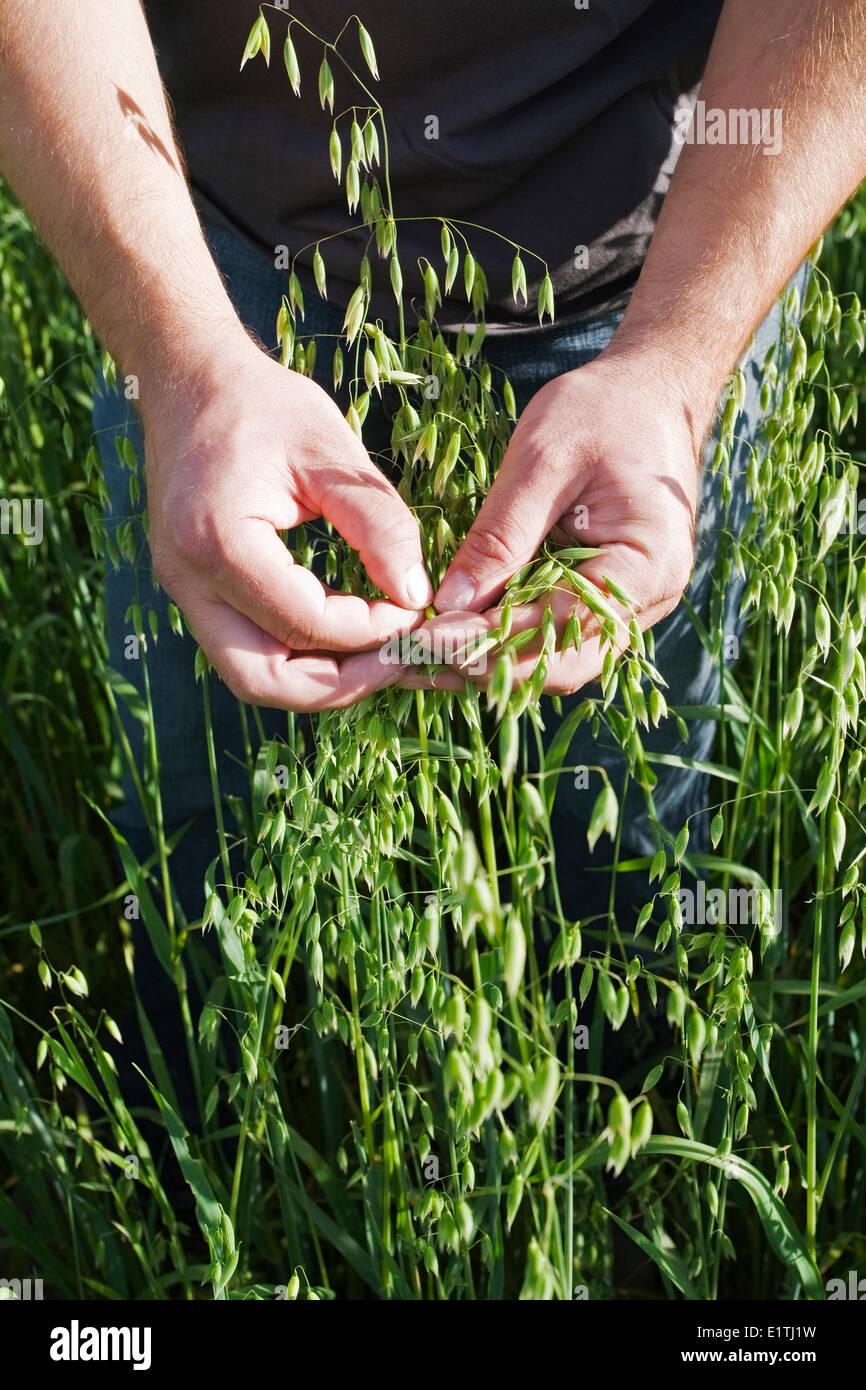Farmer's hands inspecting oat crops. - Stock Image