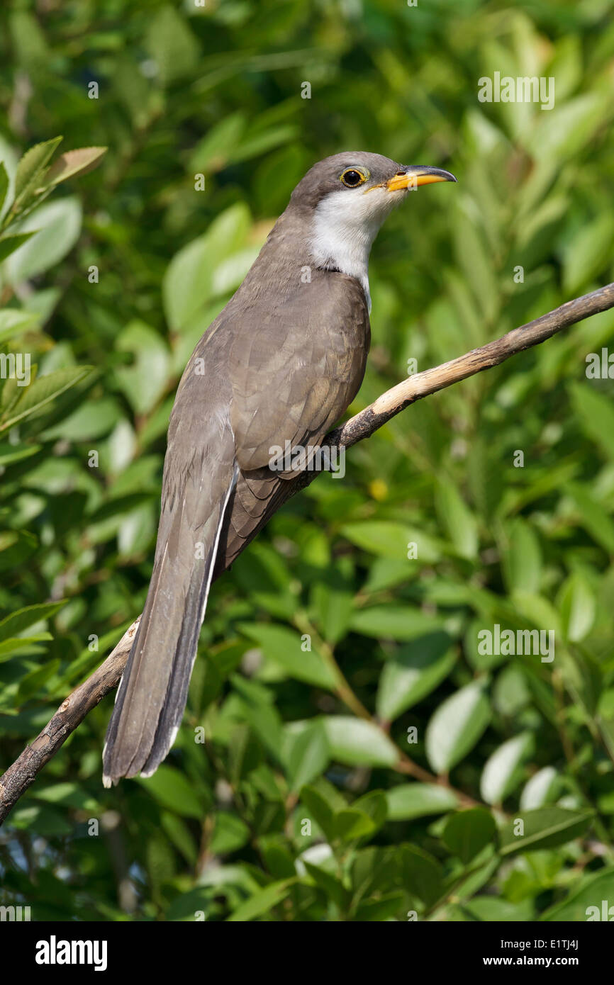 Yellow-billed Cuckoo - Coccyzus americanus - Stock Image