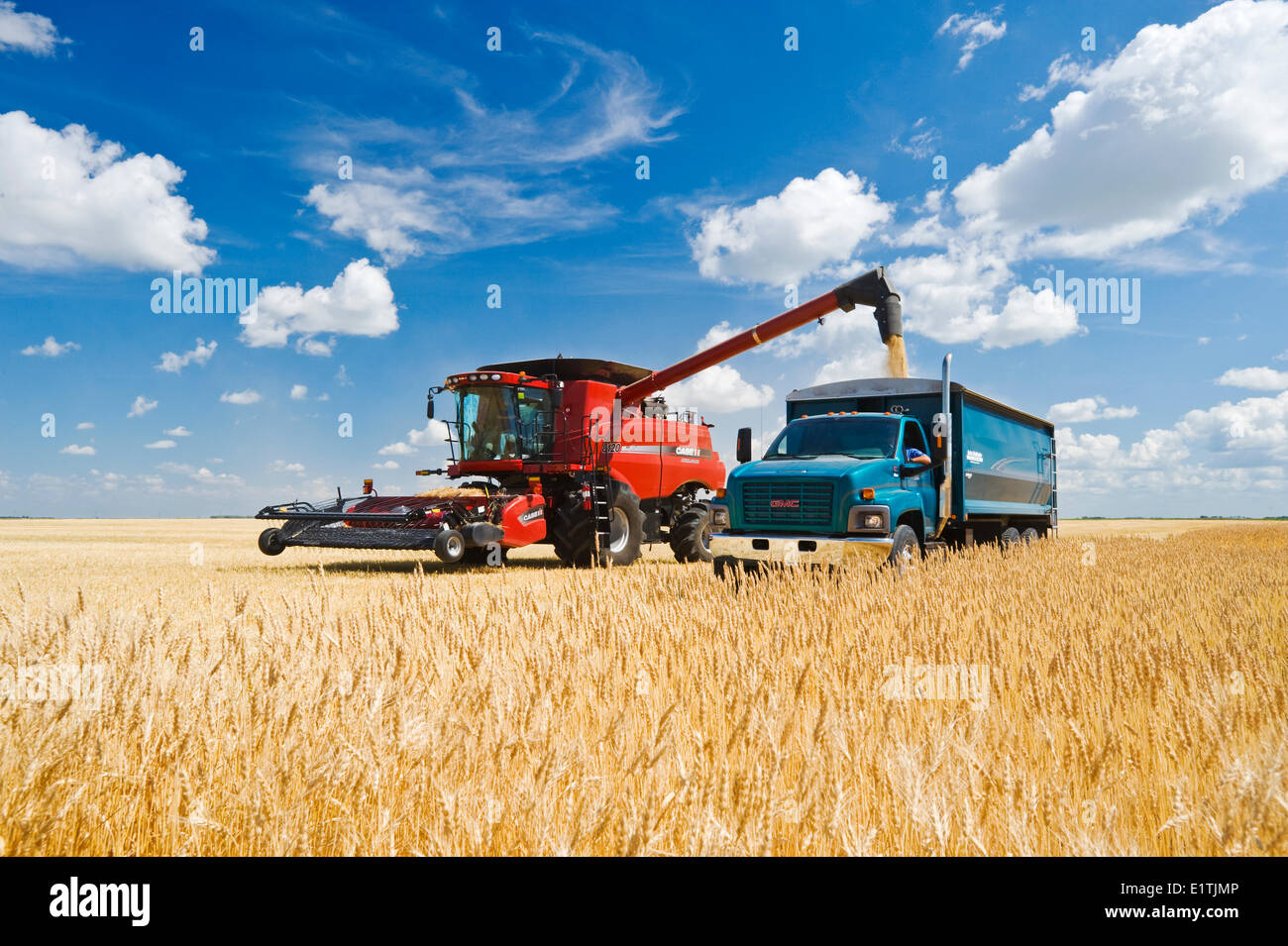 a combine augers barley into a farm truck parked next to a wheat field,  durung the harvest, near Dugald, Manitoba, Canada - Stock Image