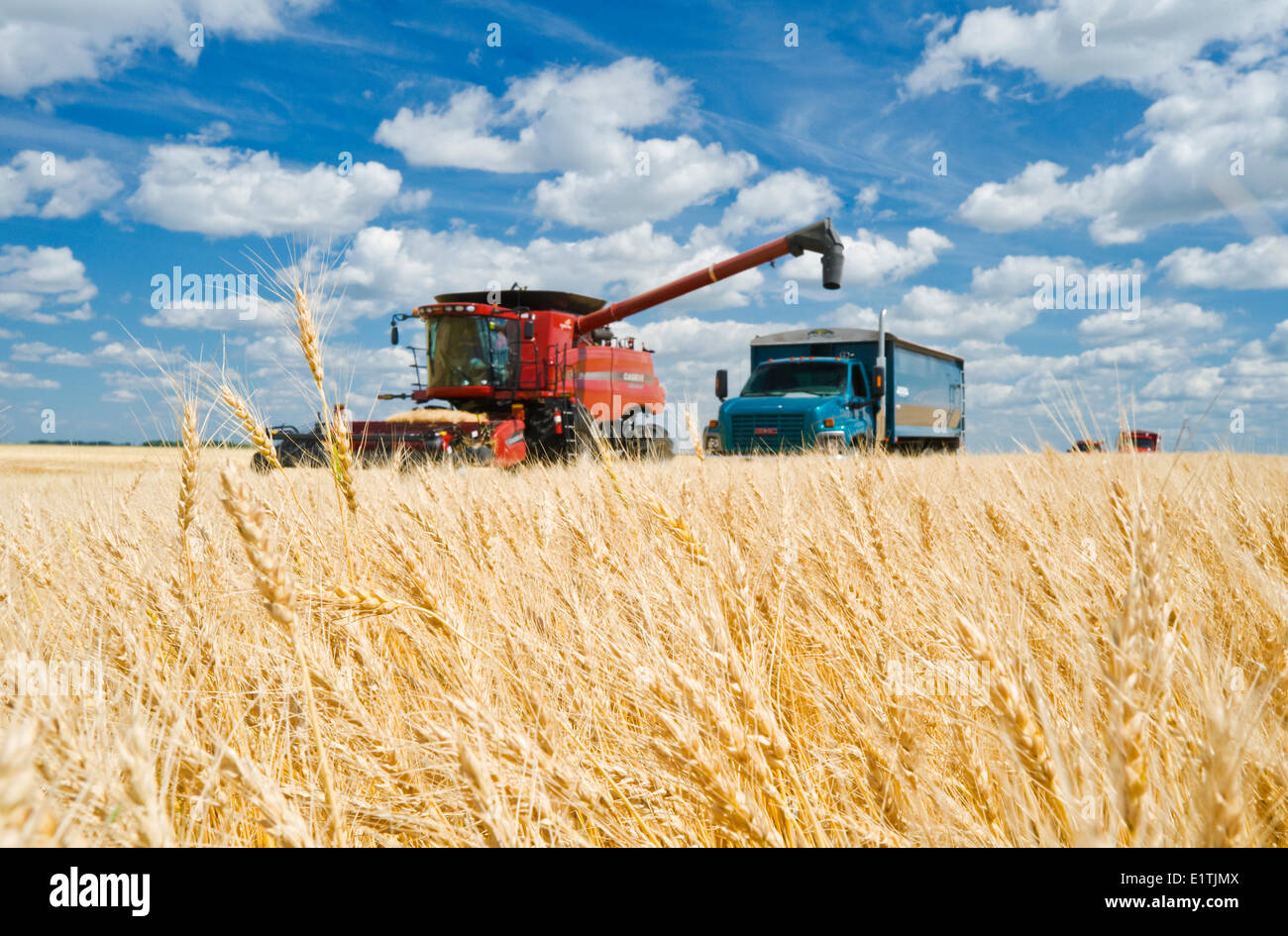 a combine augers barley into a farm truck parked next to a wheat field,  during the harvest, near Dugald, Manitoba, Canada - Stock Image