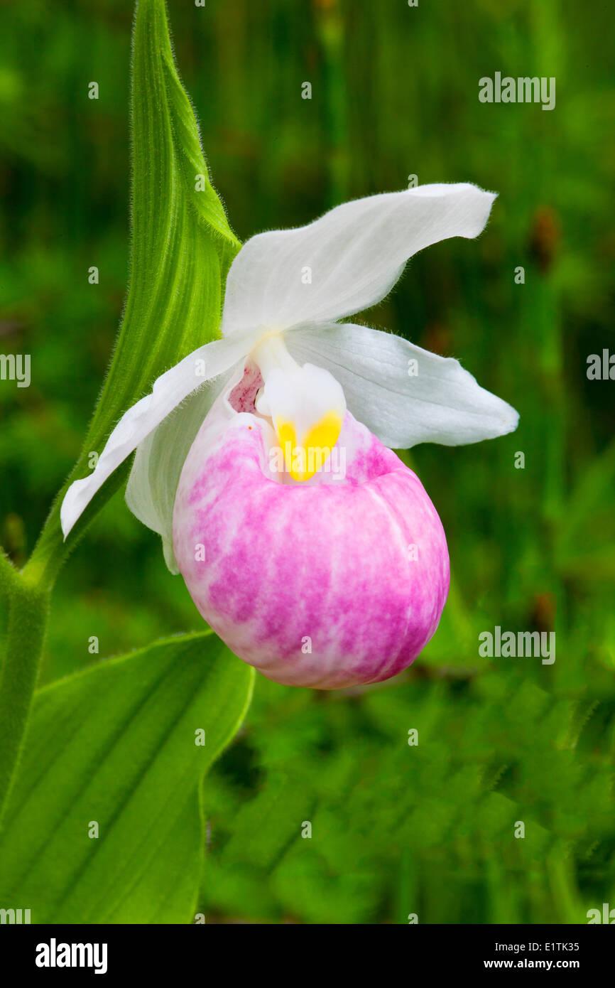 Showy Lady Slipper (Cypripedium reginae), Orchid, Wildflower - Stock Image