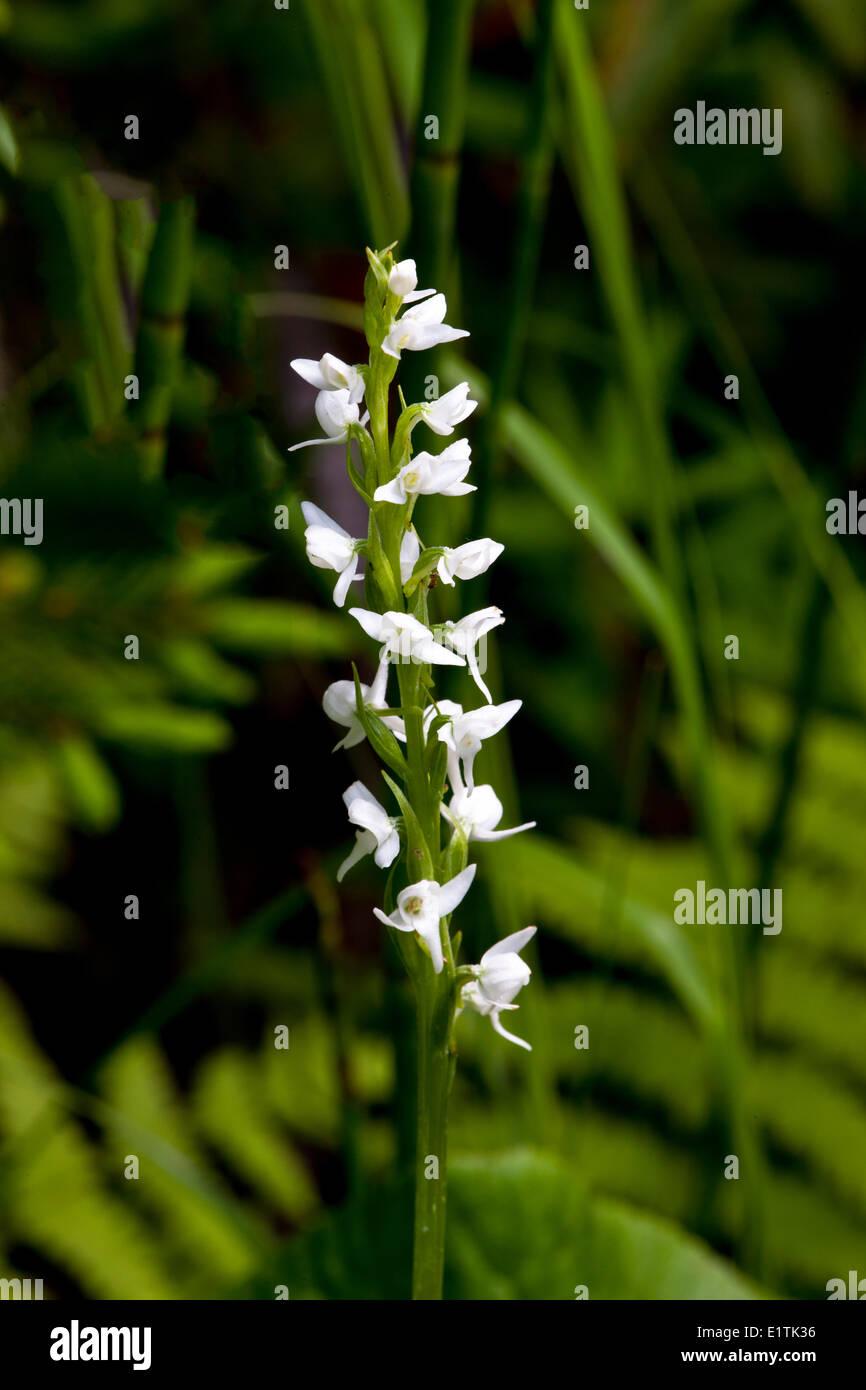 Leafy white orchid, (Habenaria nivea), orchid - Stock Image