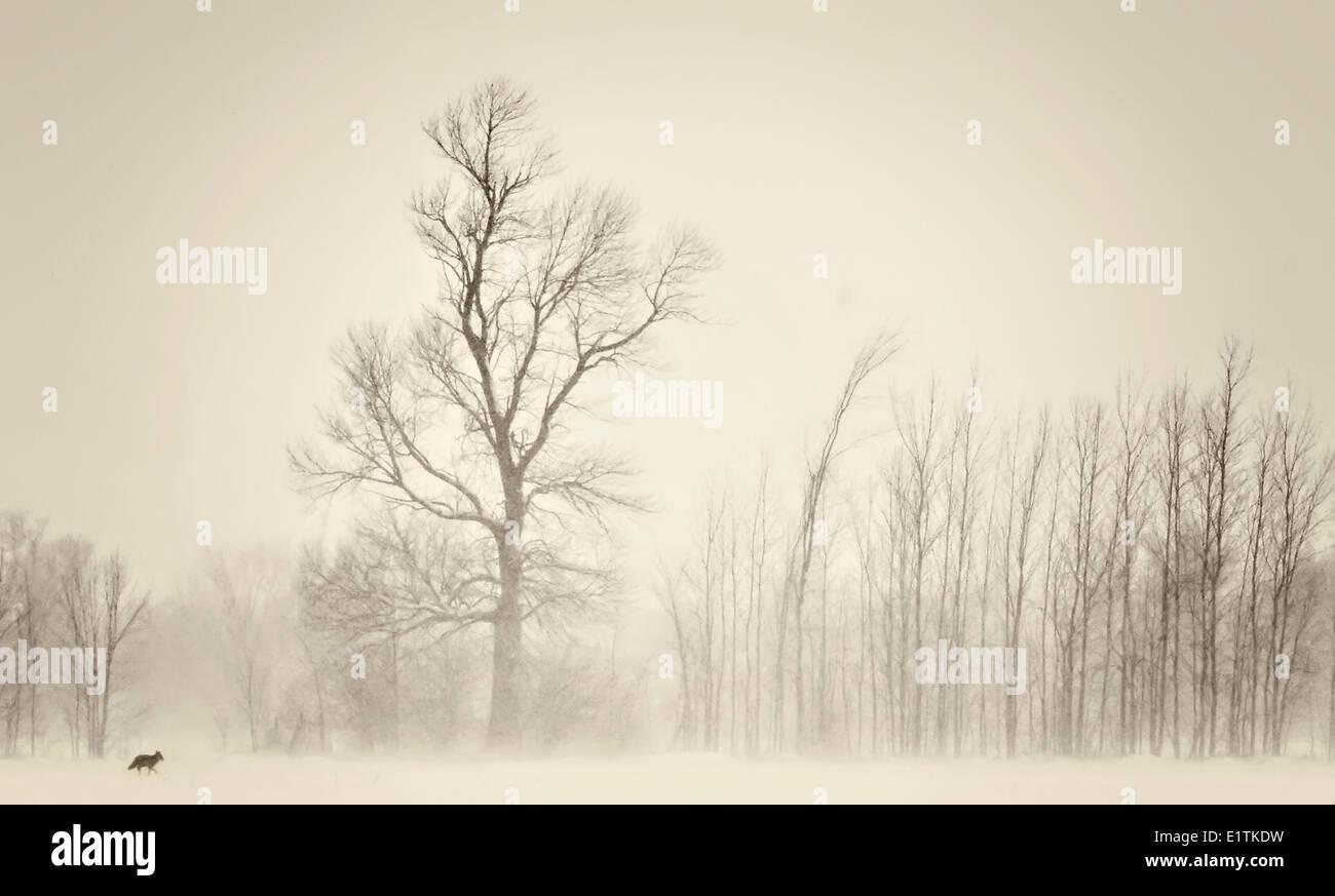 Coyote, Carnivorous Vulgaris Walking through the snow, Ottawa, Ontario, Canada - Stock Image