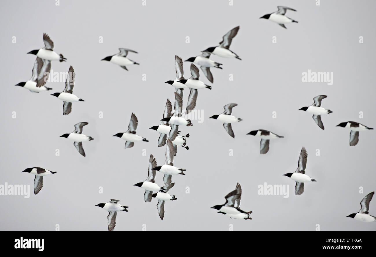 Flock of Thick-billed Murre, Uria lomvia, Nunavut, Canada - Stock Image