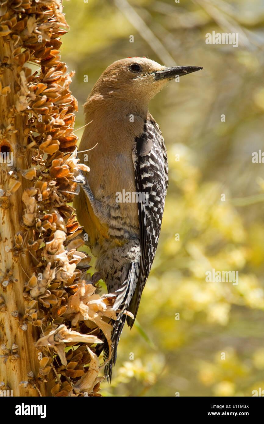 Gila Woodpecker, Melanerpes uropygialis, Sonoran Desert, Arizona, USA Stock Photo