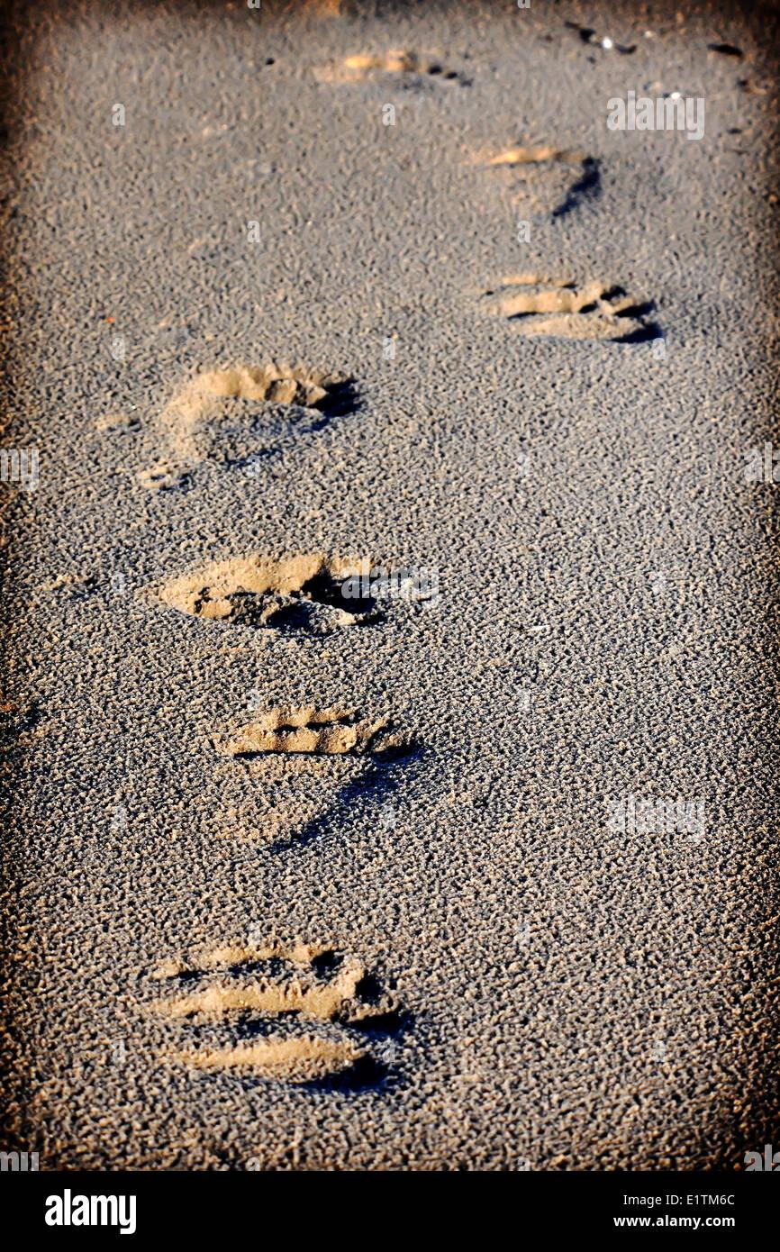 Polar bear, Ursus Maritimus, tracks in sand, Northwest Passage, Nunavut - Stock Image