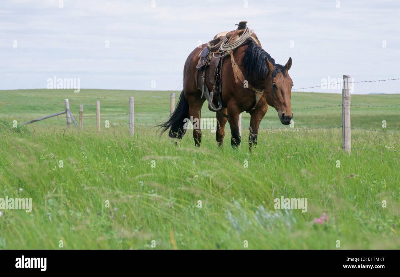 Working Cow Horse Adult (Equus ferus caballus) Summer, Sasketchewan, Canada - Stock Image