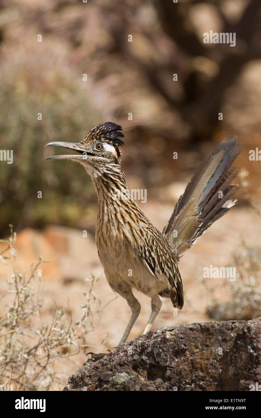Roadrunner, Geococcyx californianus, Arizona, USA - Stock Image