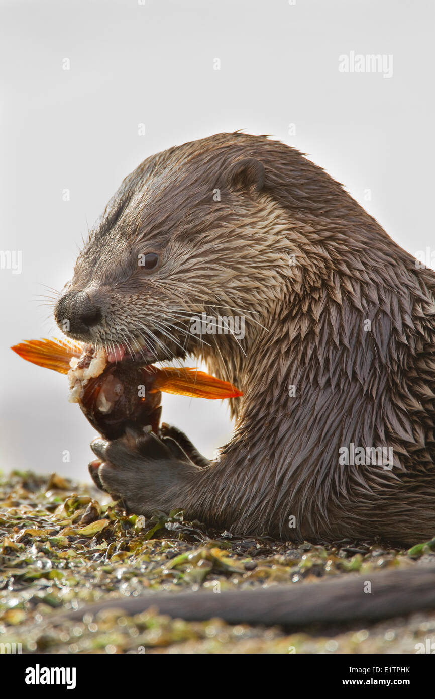North American river otter, Lontra canadensis, Victoria, BC, Canada - Stock Image