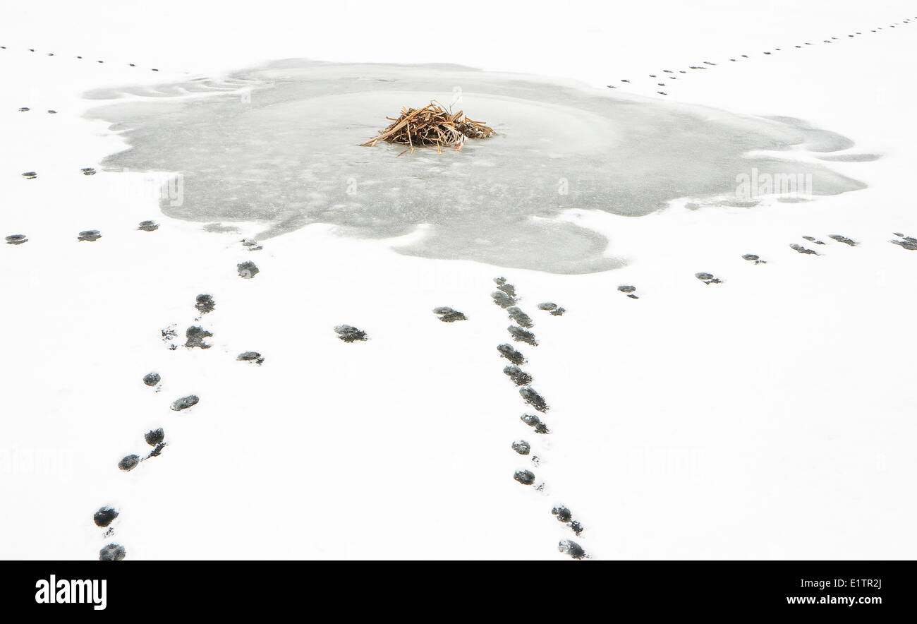 Coyote, canis latrans, tracks in the snow around Muskrat, ondatra zibethicus Lodge, Elk Island National Park, Alberta, - Stock Image