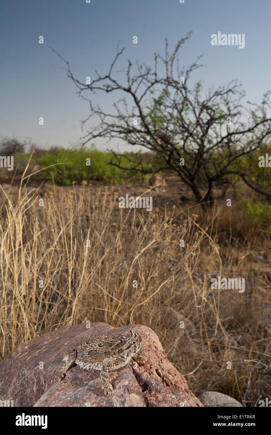 Texas Horned Lizard, Phrynosoma cornutum, Arizona, USA Stock Photo