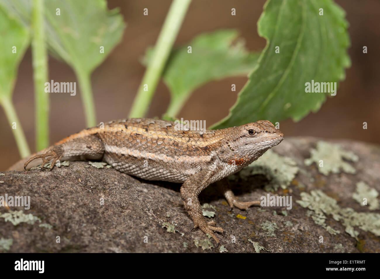 Striped Plateau Lizard, Sceloporus virgatus, Arizona, USA Stock Photo