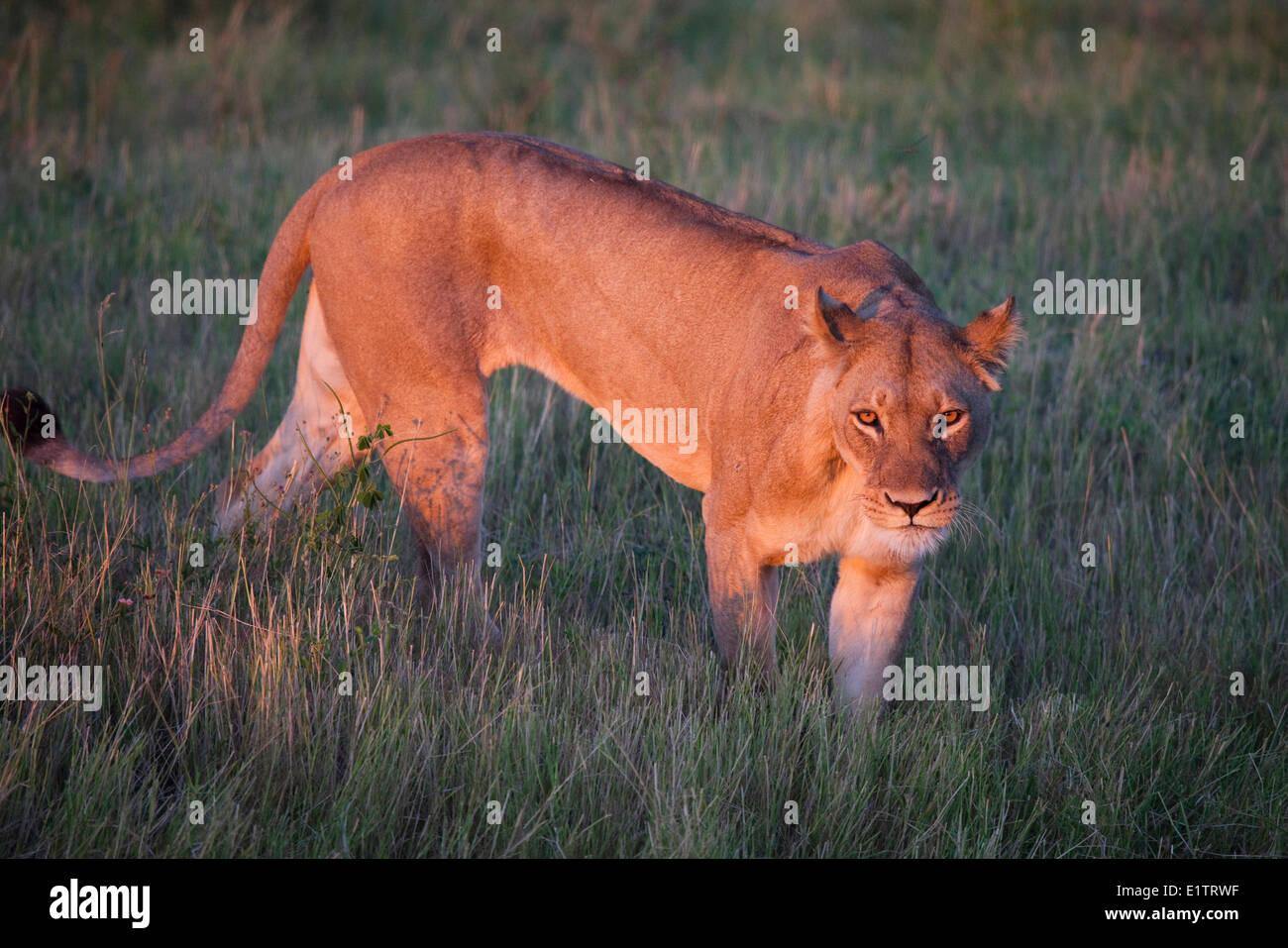 Lion, Chobe National Park, Botswana, Africa - Stock Image