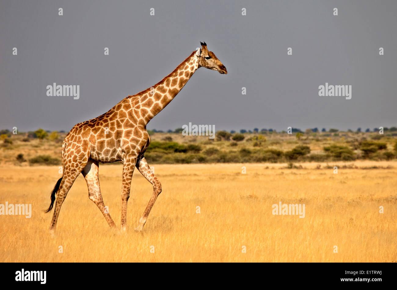 Giraffe, giraffa camelopardalis, Central Kalahari Game Reserve, Botswana, Africa - Stock Image