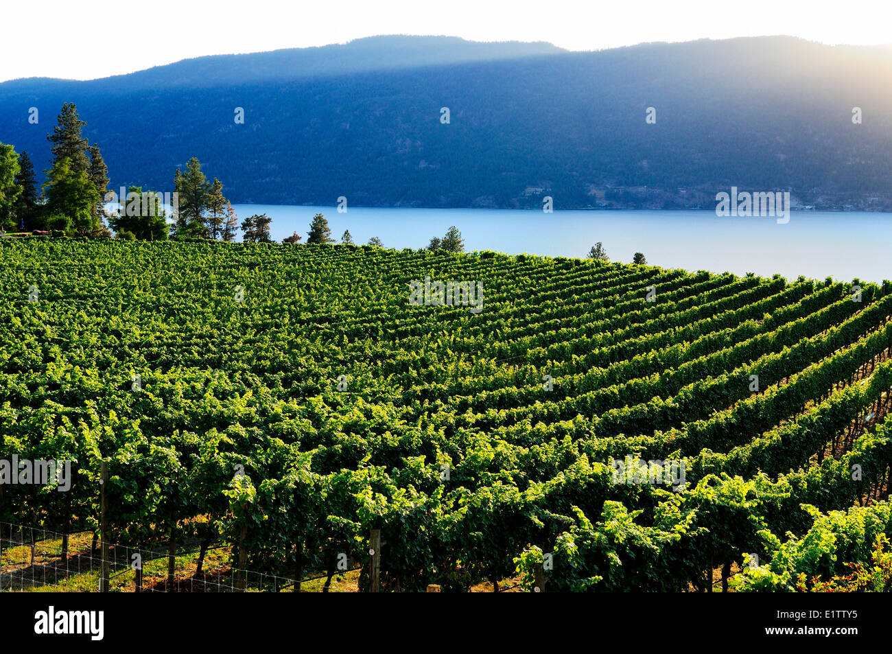 Rows of grapes from Arrowleaf Cellars vineyards near Okanagan Lake in Lake Country BC. & Rows of grapes from Arrowleaf Cellars vineyards near Okanagan Lake ...