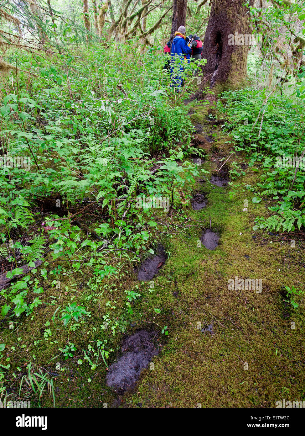 Ancient Grizzly bear tracks (Ursus Arctos) are seen by tourists in the Khutzeymateen protected area Northeast Prince - Stock Image