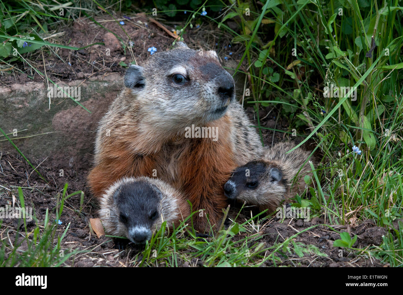 Groundhog with young (Marmota monax), also known as a woodchuck. Minnesota - Stock Image