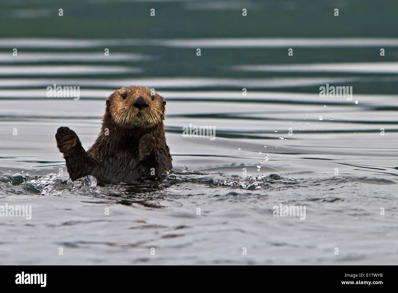 Sea otter Enhydra lutris belongs to the weasel family photographed the west coast northern Vancouver Island British Stock Photo