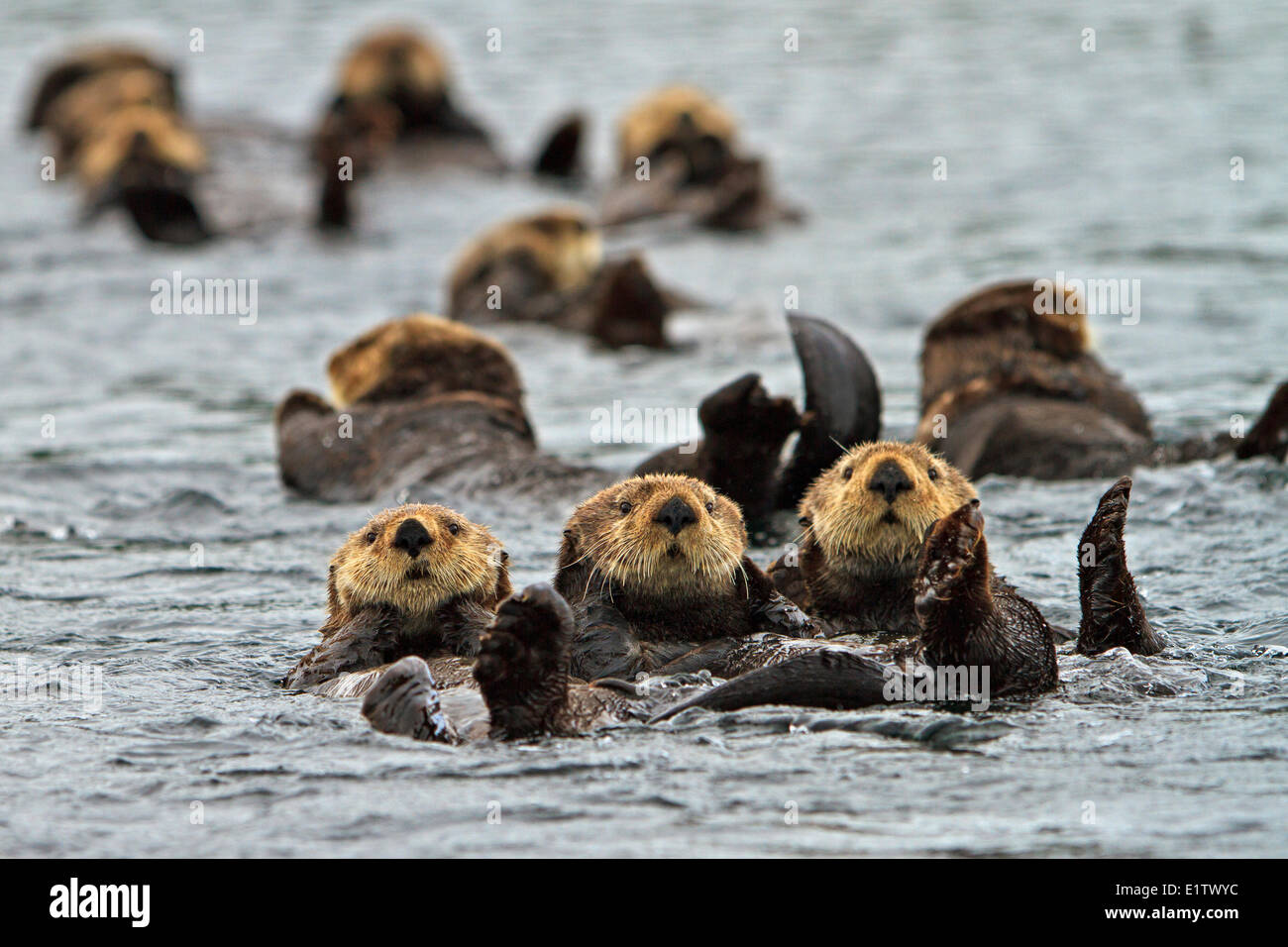 Sea otter Enhydra lutris belongs to the weasel family photographed the west coast northern Vancouver Island British - Stock Image