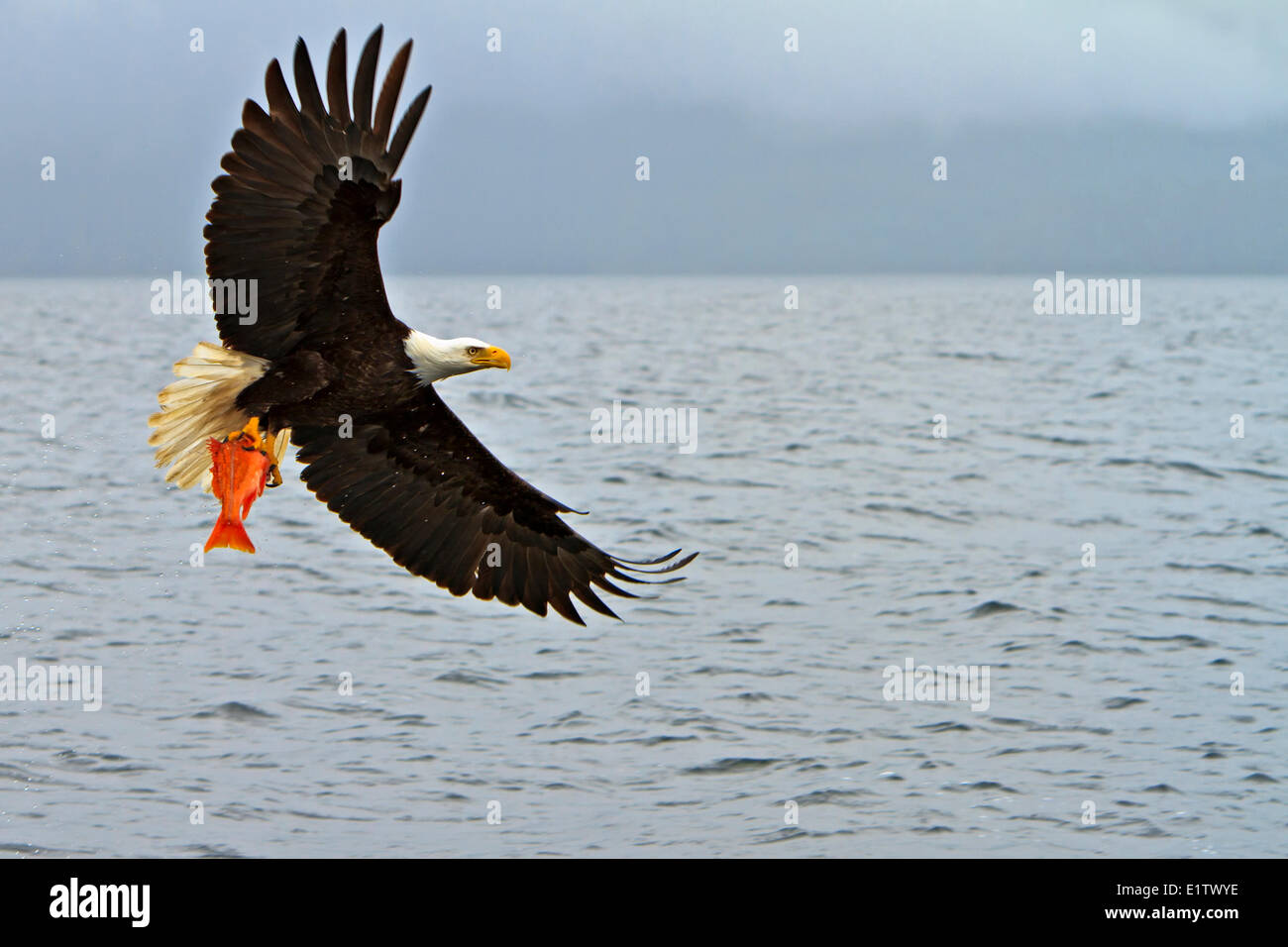 Bald eagle in flight with a fresh caught red snapper in its powerful talons Pacific Ocean off the British Columbia Stock Photo