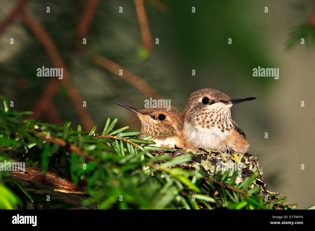 Rufous hummingbird nest with two 14 day old baby chicks, Selasphorus rufus, Northern Vancouver Island, Britih Columbia, - Stock Image