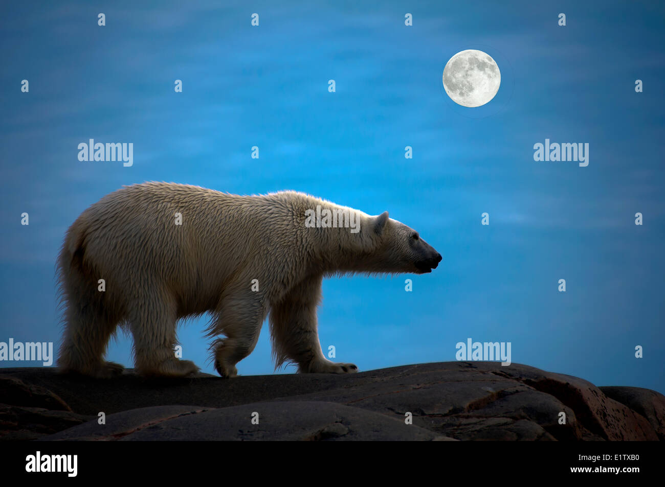 Landlocked polar bear (Ursus maritimus), Svalbard Archipelago, Norwegian Arctic - Stock Image