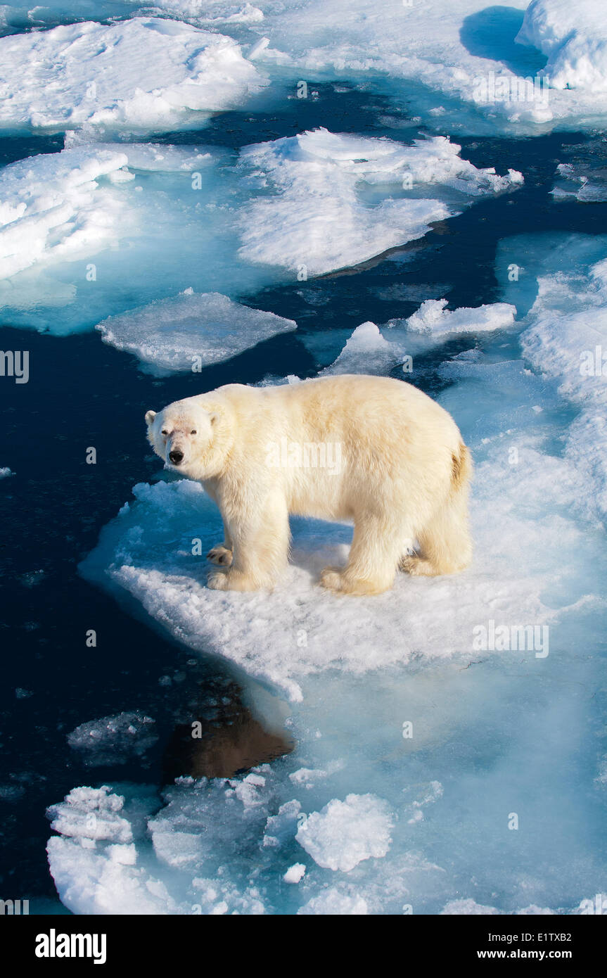 Polar bear (Ursus maritimus) on pack ice, Svalbard Archipelago, Norwegian Arctic - Stock Image