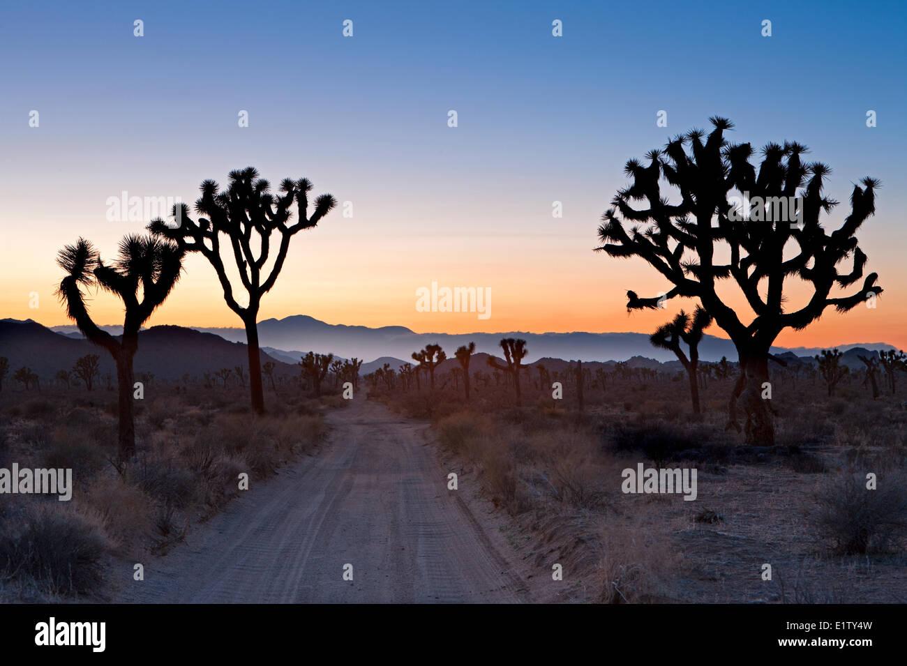 Joshua Tree, Joshua Tree National Park, Mojave desert, California, USA - Stock Image