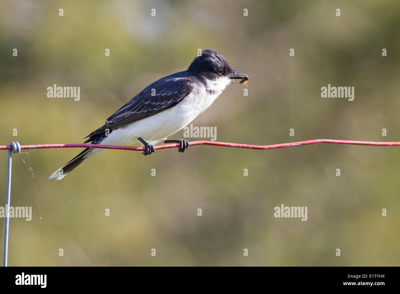 Eastern Kingbird (Tyrannus tyrannus) on a wire fence with an insect in its beak Prince Edward Point National Wildlife - Stock Image