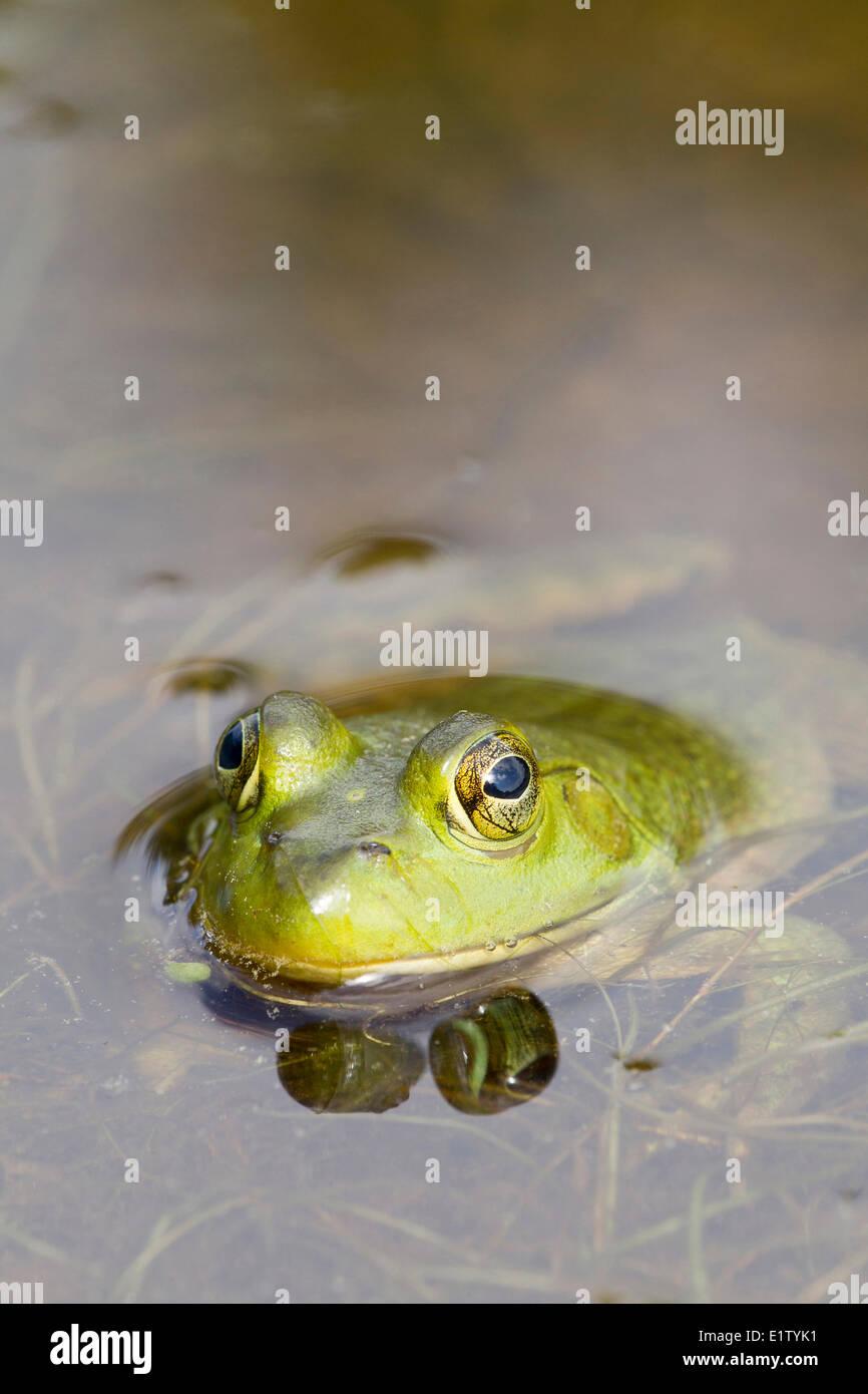 Male Bullfrog (Rana catesbeiana), Killarney Provincial Park, Ontario Stock Photo