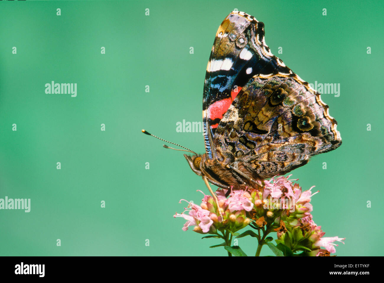 Red Admiral Butterfly, (Vanessa atalanta), ventral view - Stock Image