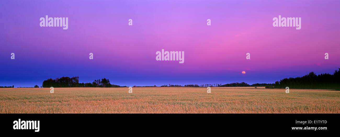 Colorful moonrise over a wheatfield in the prairie of Saskatchewan, Canada - Stock Image