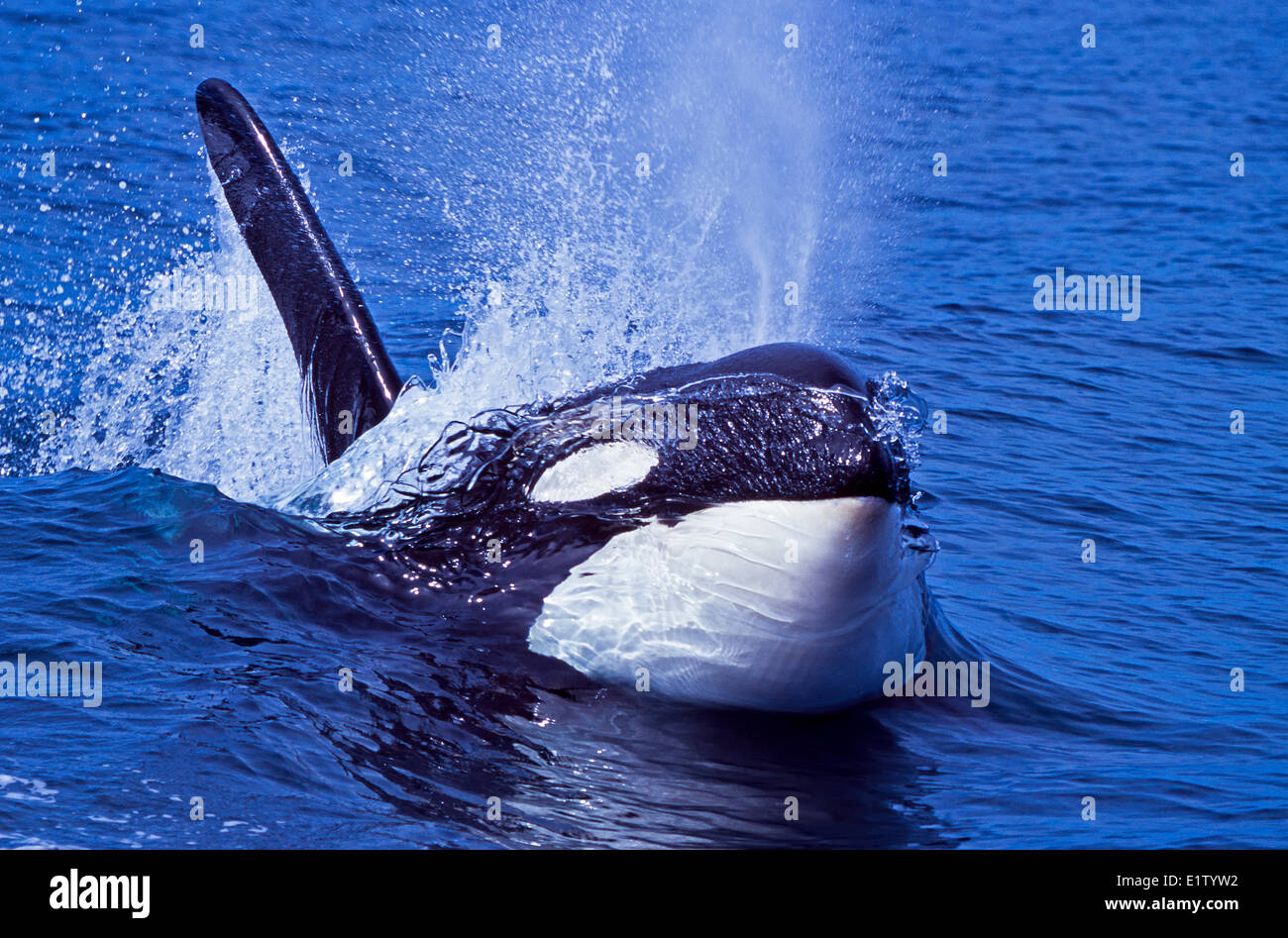Surfing Orca whale, Killer whale, British Columbia, Canada - Stock Image