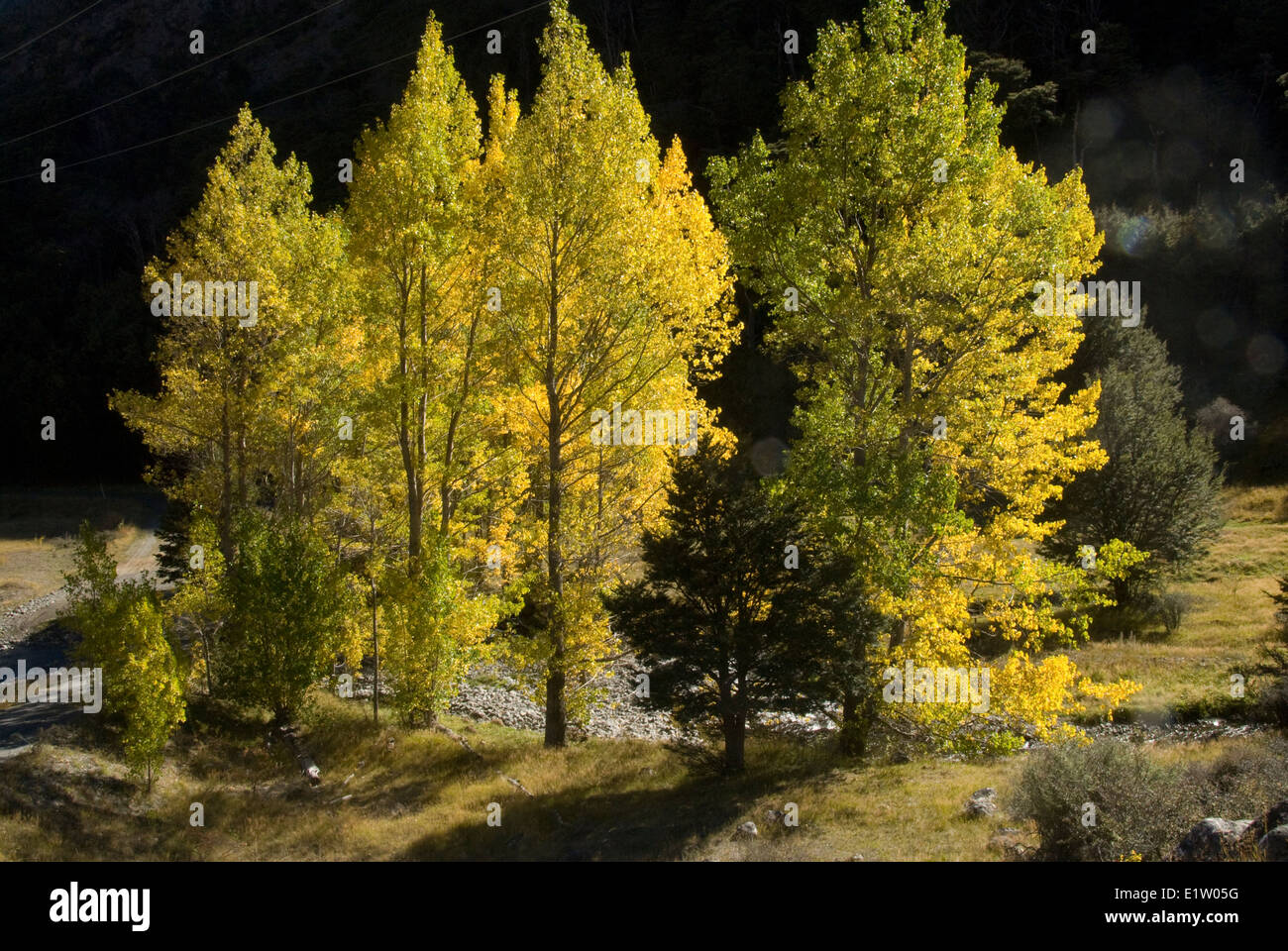Poplar trees in autumn, Rainbow Station, Nelson, South Island, New Zealand - Stock Image