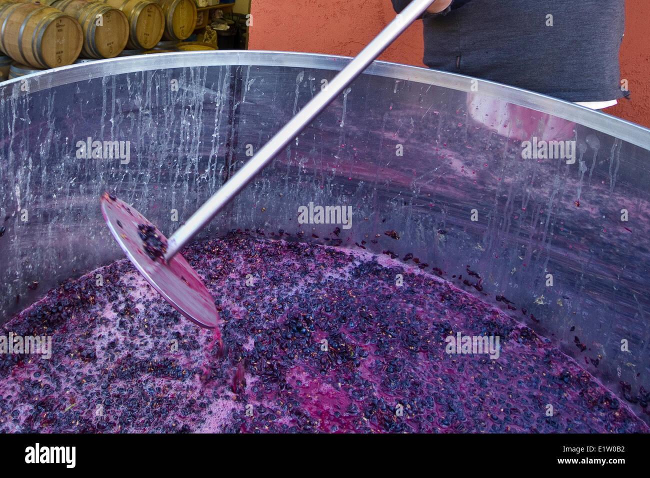 Pinot Noir grapes in vat after crush during harvest, Meyer Family Vineyards, Okanagan Falls, BC, Canada. - Stock Image