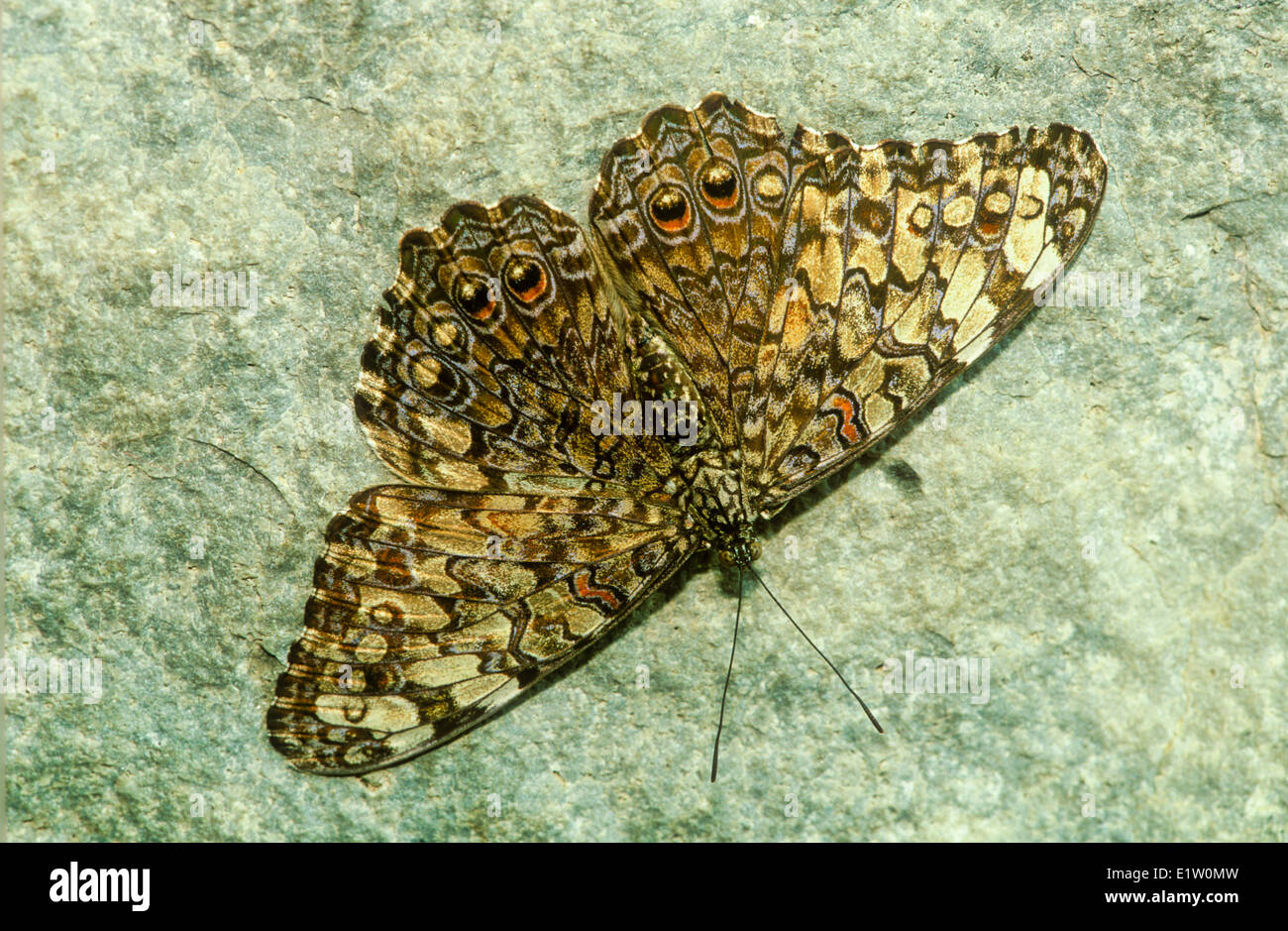 Variable Cracker Butterfly (Hamadryas feronia farinulenta) male dorsal view Argentina Brazil north through tropical - Stock Image