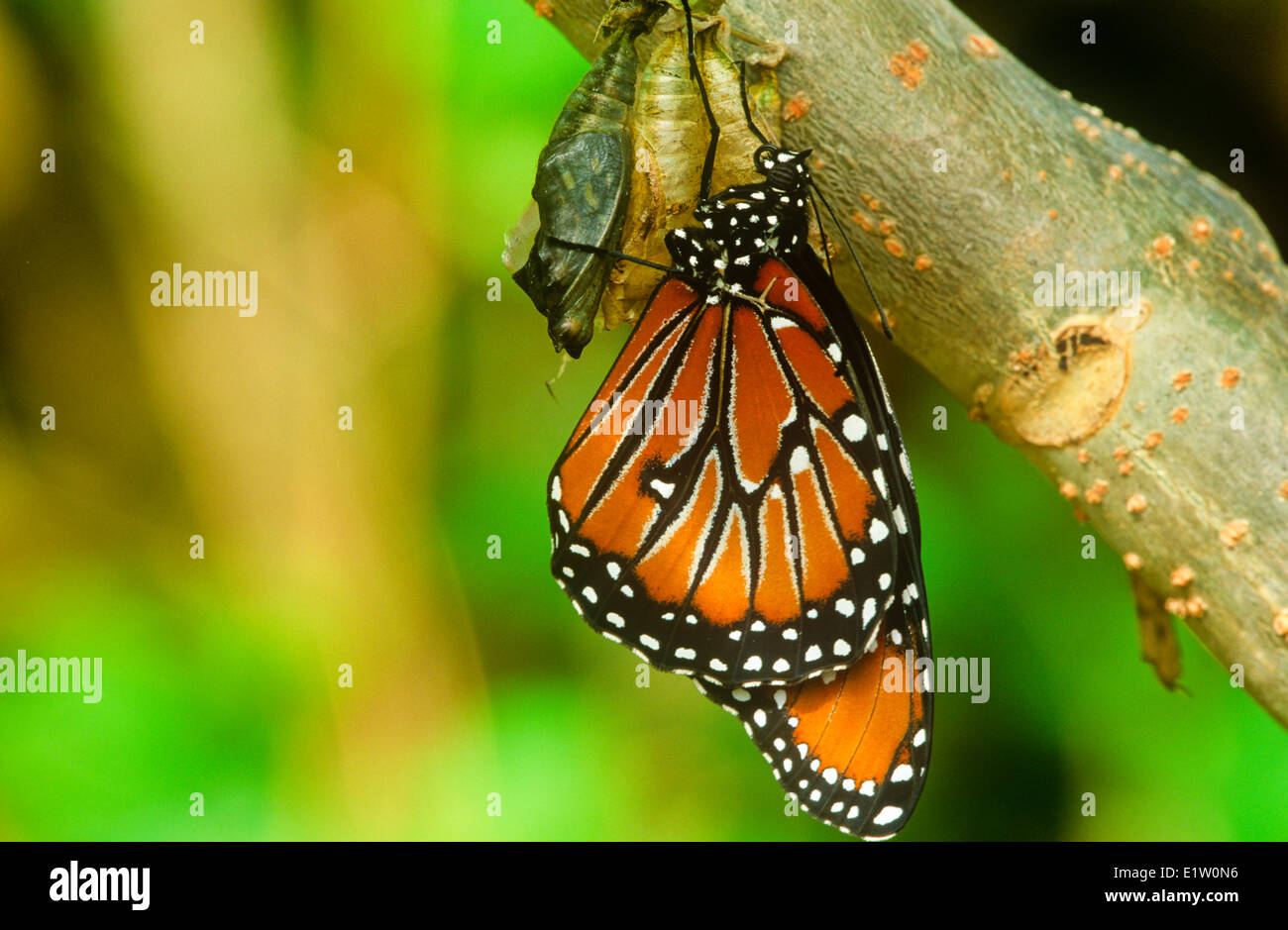 Queen Butterfly (Danaus gilippus thersippus)  emerging pupal case Resident in extreme southern United States south - Stock Image