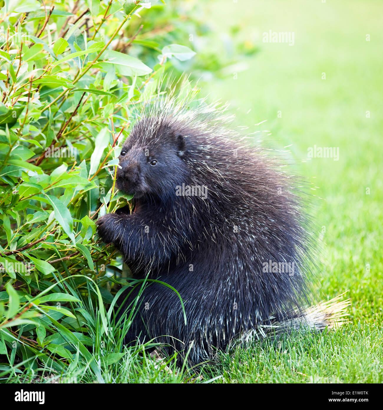 Porcupine (Erethizon dorsatum) eating leaves, Banff National Park, Alberta, Canada Stock Photo