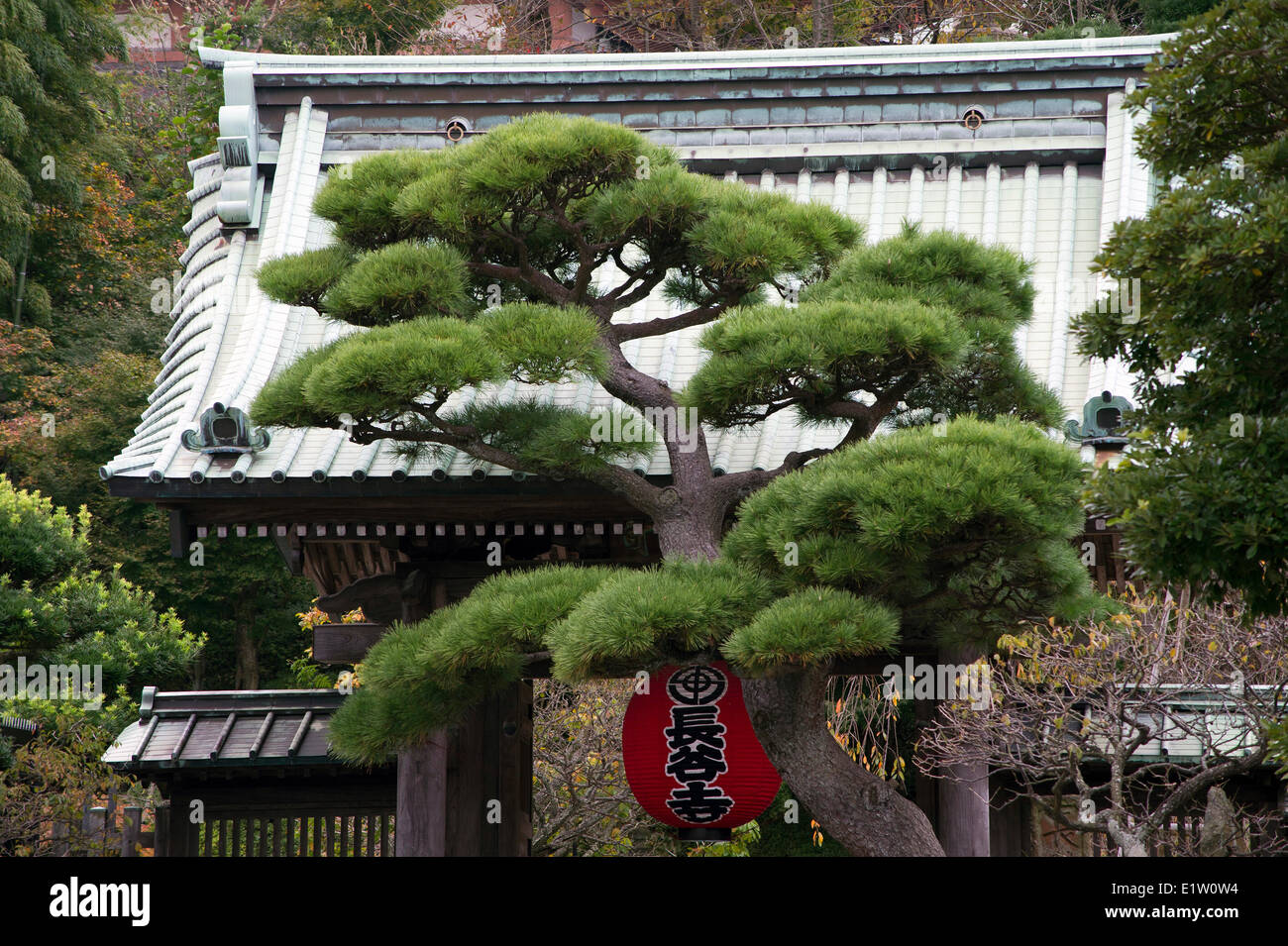 Pine tree growing in front of Hasedera temple entrance in Kamakura, Japan - Stock Image
