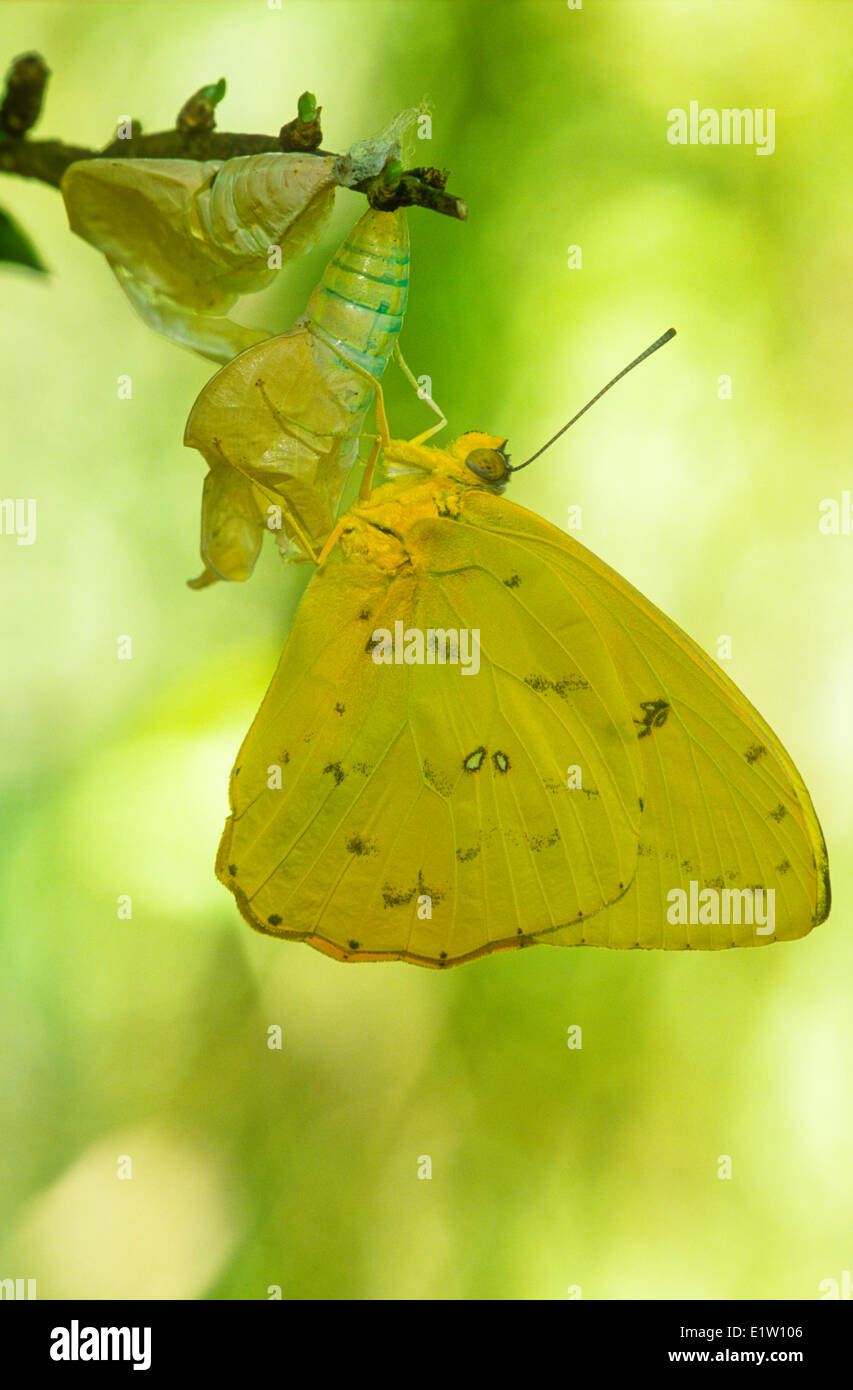 The Cloudless Sulphur Butterfly, (Phoebis sennae), ventral view, South America to southern Canada - Stock Image