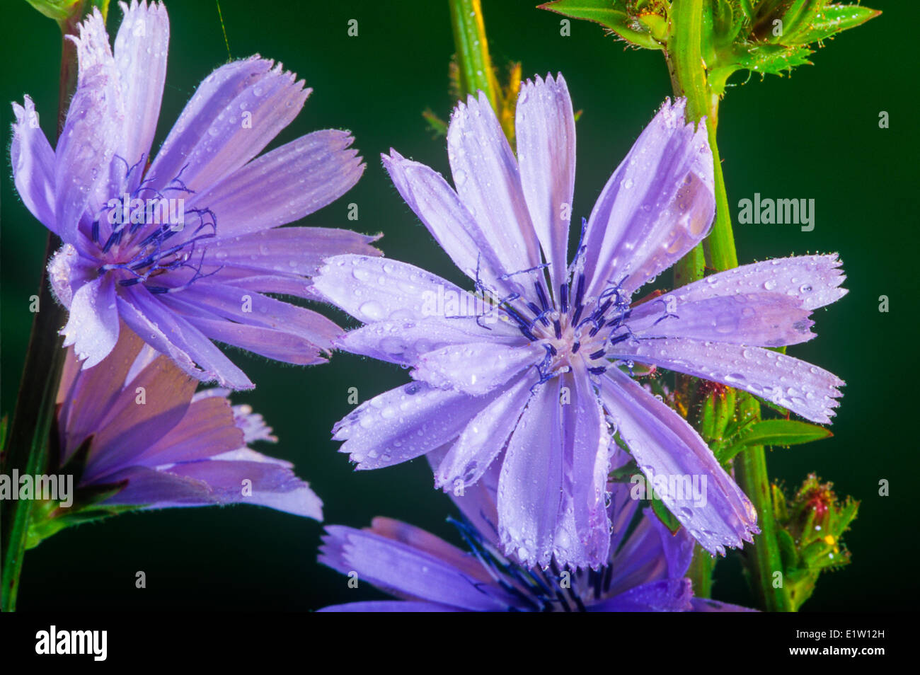 Chicory, (Cichorium intybus), Wildflower - Stock Image