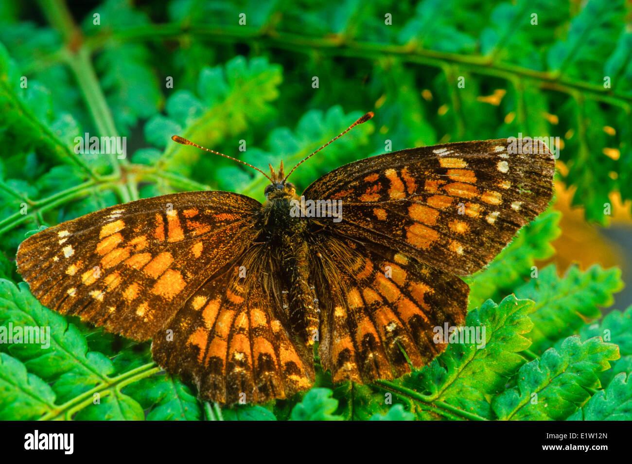 Harris' Checkerspot Butterfly, (Charidryas harrisii) Stock Photo