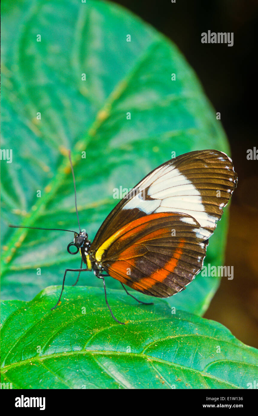 Sapho Longwing Butterfly, (Heliconius sapho leuce), Ventral view, SE Mexico to Costa Rica; Atlantic slope Stock Photo